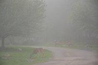 7 a.m on a misty morning - breakfast time for Bambi!