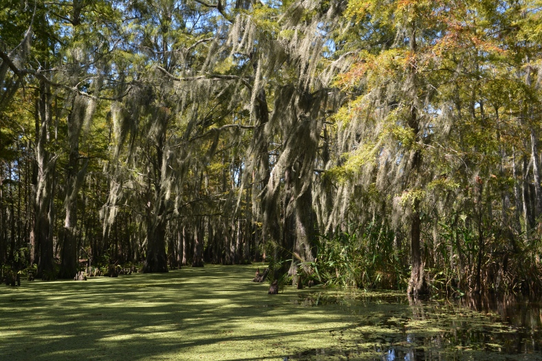 Swaying bayou cypress trees and a floating lawn made of moss
