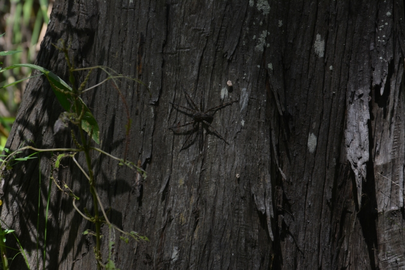 Spotted a swamp spider....