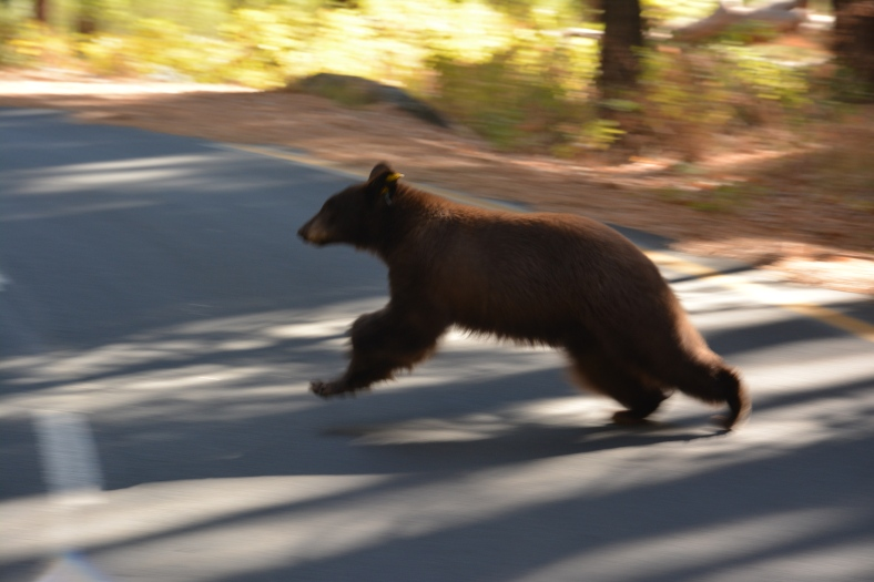 Tracking a bear for an hour, all for a picture as fuzzy as he is!